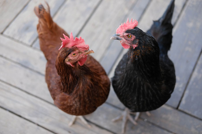 hens talking to eachother