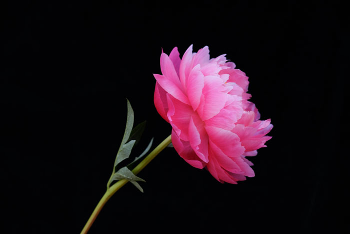 coral charm peony on black background