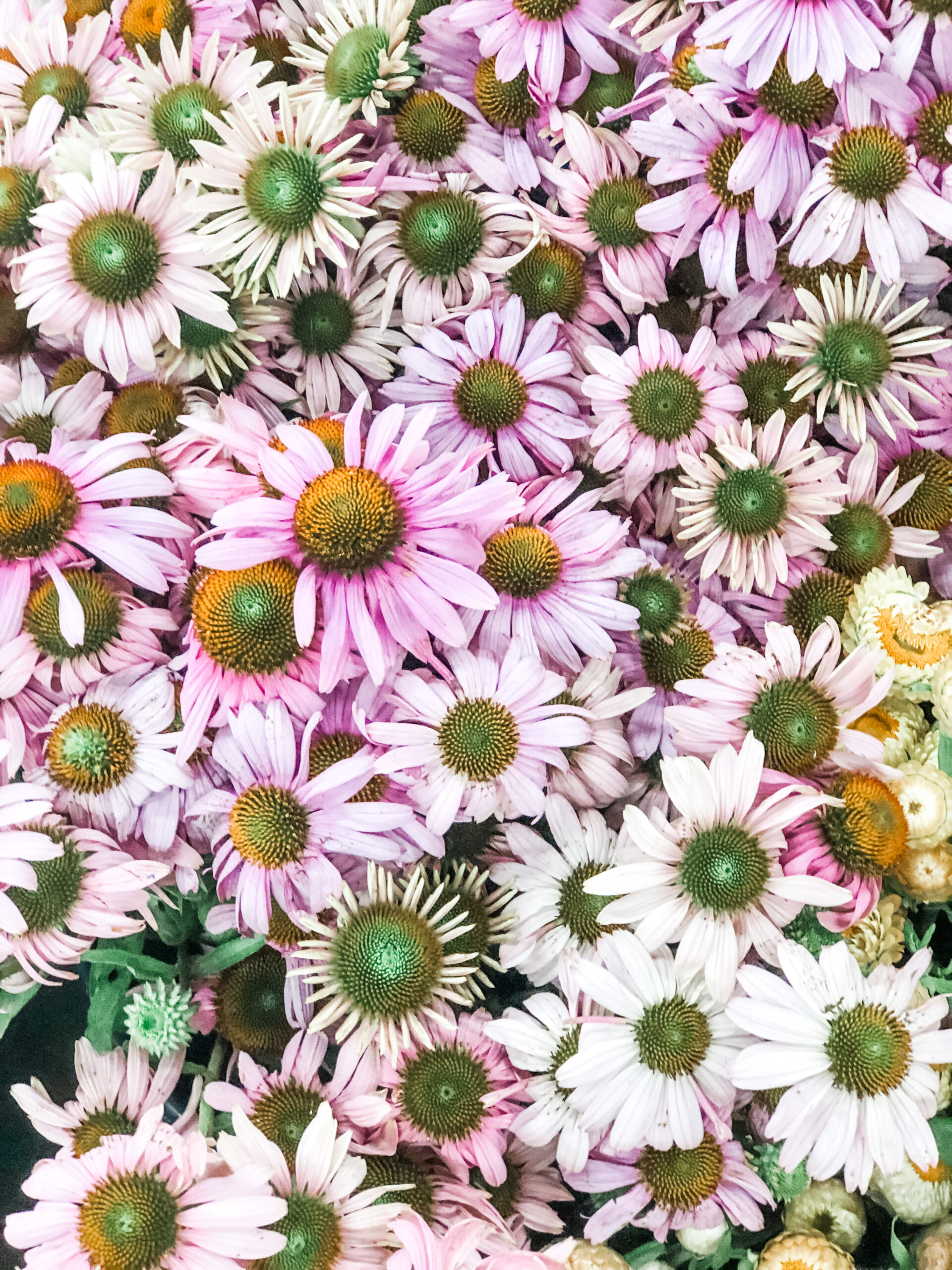 Pink Echinacea blooms snapped at The LA Flower Market by Tabitha Abercrombie of Winston & Main